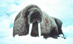 Large walrus on the ice - Odobenus rosmarus divergens - contemplating the photographer. Photo