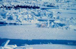 Polar bear - Ursus maritimus - hunting near large group of walrus Photo
