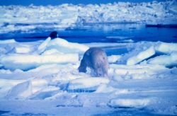 Polar bear - Ursus maritimus - appears to be stalking walrus - in fact was running from helicopter noise. Photo