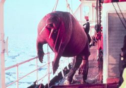 Dead walrus - Odobenus rosmarus divergens -found floating in sea being taken on board ship for studying. Photo