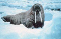 Attentive walrus - Odobenus rosmarus divergens - inspecting photographer. Photo