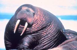 Large fat walrus - Odobenus rosmarus divergens - showing extent of blubber deposits. Photo
