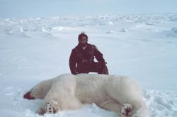 Helicopter pilot Budd Christman with sedated polar bear - Ursus maritimus Photo
