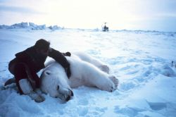 Helicopter pilot Budd Christman with large sedated male polar bear - Ursus maritimus Photo