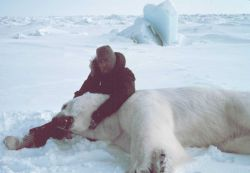 Steve Amstrup of USFWS with large sedated polar bear - Ursus maritimus Photo