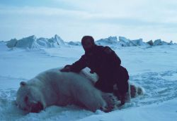 Budd Christman with large sedated polar bear - Ursus maritimus Photo