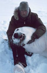 Steve Amstrup with large sedated polar bear - Ursus maritimus Photo