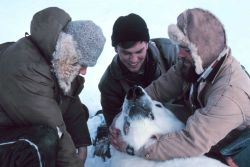 Preparing to pull tooth of large sedated polar bear - Ursus maritimus Photo