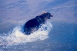 Brown bear - Ursus arctos - on the shore of the Beaufort Sea Photo