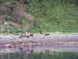 Mama bear with two cubs - Alaska brown bears - Ursus arctos. Photo