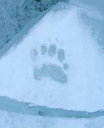 A polar bear paw print on the ice in the Arctic Ocean north of western Russia. Photo