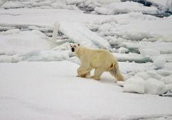 A polar bear (Ursus maritimus) on the ice in the Arctic Ocean north of western Russia. Photo