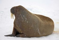 A walrus on the ice in the Arctic Ocean north of western Russia Photo