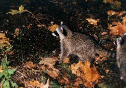 Raccoon (Procyon lotor). Photo