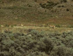 Antelope in eastern Oregon. Photo