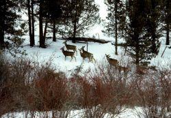 Wintering mule deer in riparian vegetation. Photo