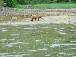 Young Alaska Brown Bear (Ursus arctos) strolling on the beach. Photo