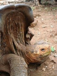 Saddleback Tortoise Photo