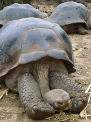 Galapagos Tortoise displaying long serpentine neck. Photo