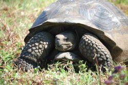 Giant Tortoise. Photo