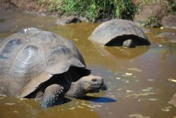 Giant Tortoises. Photo