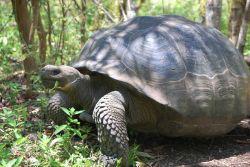 Charging tortoise. Photo