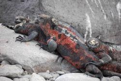 Marine iguana. Photo
