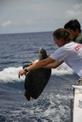 Preparing to return sea turtle to the ocean after completing measurements. Photo