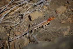 Female lava lizard. Photo
