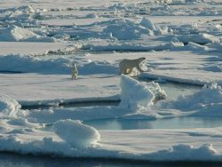 Polar bear with curious cub on first year ice floes Photo