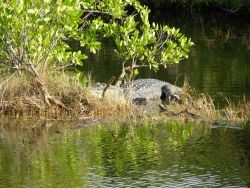 A very large alligator in a mangrove swamp area Photo