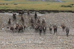 Domestic reindeer herd Photo