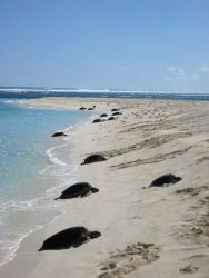 Green turtles coming ashore to lay eggs Photo