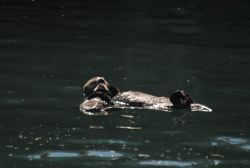 Sea otter pup resting on mother Photo