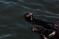 Sea otters Photo