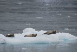 Harbor seals (Phoca vitulina) hanging out on an ice floe. Photo