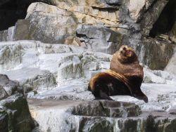 Steller sea lion bull (Eumetopias jubatus) Photo