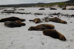 Sea lions hauled out on the beach. Photo