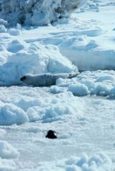 Spotted seal pup - Phoca largha. Photo