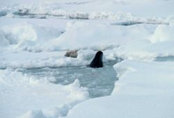 Seal coming up through breathing hole in ice while another lounges on the ice Photo