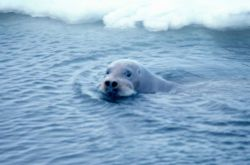 Bearded seal - Erignathus barbatus - swimming. Photo