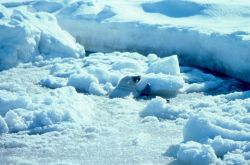 Baby spotted seal - Phoca largha in the ice. Photo