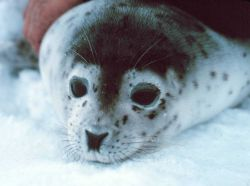 Spotted seal - Phoca largha. Photo