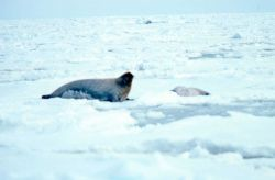 Bearded seal - Erignathus barbatus - with pup. Photo