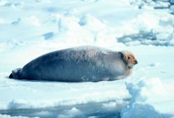 Bearded seal - Erignathus barbatus. Photo