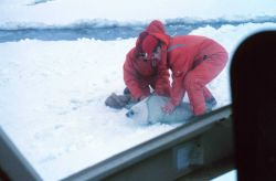 Tagging a spotted seal pup - Phoca largha. Photo