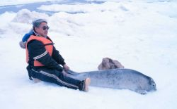 Restraining a spotted seal pup - Phoca largha. Photo