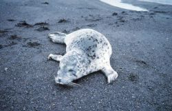 Spotted seal (Phoca largha) on a black sand beach. Photo