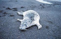 Spotted seal (Phoca largha) on a black sand beach. Photo