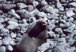 Northern fur seal - Callorhinus ursinus. Photo